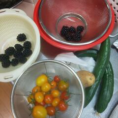 新じゃが/きゅうり/家庭菜園/ミニトマト/ブラックベリー 今日収穫 キュウリ ミニトマト ブラック…(1枚目)