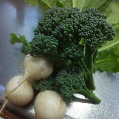 家庭菜園/旬の野菜 小カブとブロッコリー 小1の息子が収穫し…(1枚目)
