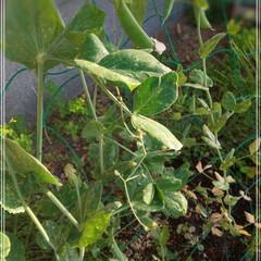 グリーンカーテン/家庭菜園/スナップエンドウ/豆 今年は、 これを植えてみました! 「スナ…(1枚目)