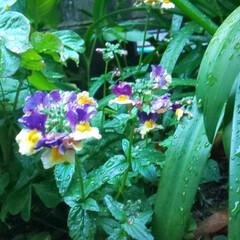 お庭づくり/ガーデニング/暮らし/庭植え 名前が忘れちゃった  汗  可愛いのでフ…