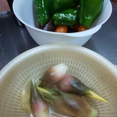 家庭菜園/旬の食材/節約 本日の収穫~  こどもピーマン 普通のピ…