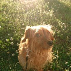 朝日/シロツメ草/ミニチュアダックスフンド/ヨークシャーテリア/MIX犬/ミックス犬 いつもの散歩コース 今日はちょっと早起き…