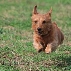 ミックス犬/MIX犬/ヨークシャーテリア/ミニチュアダックス/ドッグラン/飛行犬/... 久しぶりの良いお天気 ドッグランで全力疾…