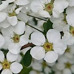 「八重桜が終わった いつもの散歩道 ユキヤ…」(2枚目)