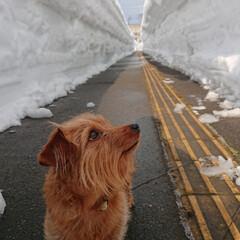 MIX犬/ミックス犬 大雪で歩道の壁が3メートル以上 一週間ぶ…