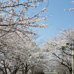 カフェ巡り/おしゃれカフェ/わんことお花見/お花見スポット/春の一枚/わんこ部/...  お花見🌸🐶  (3枚目)