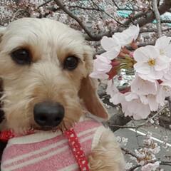 春の一枚/ナイスショット/わんことお出かけ/お花見スポット/お花見/ミニチュアダックスフンド/... お花見🌸してきたよ🐶
