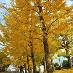 かわいい/お揃いコーデ/お散歩好き/冬ソナストリート/黄色い絨毯/イチョウ並木/...  イチョウ並木🍂きれいだった😊