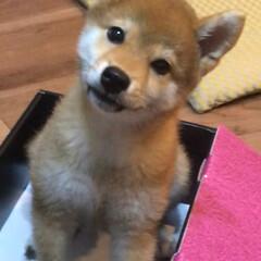 可愛い犬/かわいい/しばいぬ/柴犬/LIMIAペット同好会/フォロー大歓迎/... 誰かぼくを拾って〜❣️