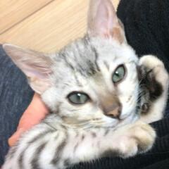 うちの子ベストショット/ベンガル猫 一歳半のベンガル愛娘、グレースです。一丁…