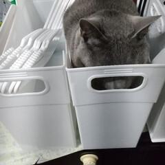 かくれんぼ/ロシアンブルー/猫 それでも、隠れてるつもりですか? 丸見え…