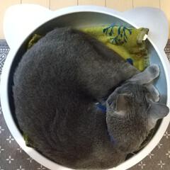 ロシアンブルー/ねこ/ねこ鍋/猫鍋/猫 暑くなってきたので、夏用のねこ鍋を出して…
