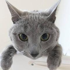 ロシアンブルー/猫 レオ(ФωФ)君に見張られてます。  ス…