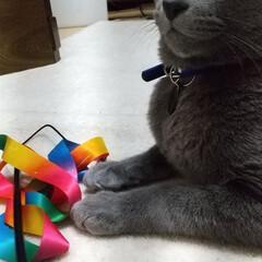 ロシアンブルー/ねこ/猫 家にいるなら、遊んでくれぇー😼💢💢  で…