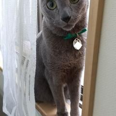 ねこ/ロシアンブルー/猫 最近、換気を気にしてめったに開けない窓を…