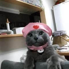 ロシアンブルー/猫 我が家の癒し担当