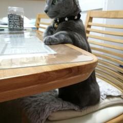 ティータイム/ロシアンブルー/猫 一緒にお茶しましょうか?って感じかな。。…