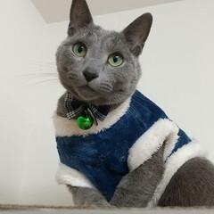 猫/ロシアンブルー 去年、、レオ(ФωФ)君は、こたつに入っ…