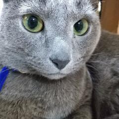 ロシアンブルー/猫 寝てるのを、邪魔したら、 なぁんにゃ?っ…