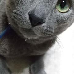 猫/ねこ/ロシアンブルー ご主人様、、先ほどのイタズラ、、お許し下…