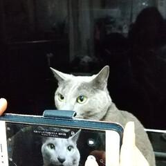 ロシアンブルー/猫 レオ君(ФωФ)を撮影している息子(小4…