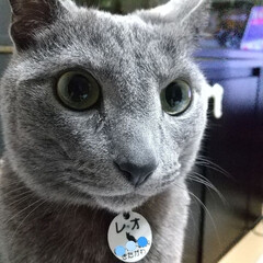 猫/ロシアンブルー アップ‼️ ごはん後なのに、なんだか私の…