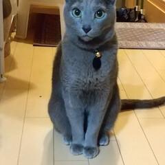 ロシアンブルー/猫/ねこ レオ(ФωФ)君 微動だにしない。。置物…