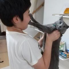 ねこ/ロシアンブルー/猫 レオ(ФωФ)君、息子と旦那の抱っこは苦…
