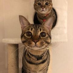 ねこ/ベストショット/なかよしにゃんこ/にゃんこ/ペット なかよし姉弟♡ リリーと蘭丸です。