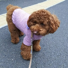 トイプードルレッド/トイプードル/トイプードルの女の子/LIMIAペット同好会/ペット/ペット仲間募集/... ソルトサイズに編んでもらったセーター。 …