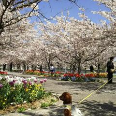 トイプードル部/トイプードル/春のフォト投稿キャンペーン/LIMIAペット同好会/わんこ同好会/風景/... まだこんなに桜が🌸🌸 綺麗な公園見~つけた