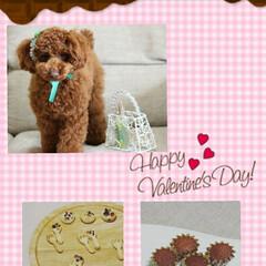トイプードル/トイプードルレッド/トイプードルの女の子/LIMIAペット同好会/ペット/ペット仲間募集/... happy  valentine'sda…