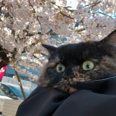 さくら/ミヌエット/LIMIAペット同好会/ペット/猫/にゃんこ同好会/... お花見🌸にゃ😸