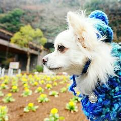 うちの子ベストショット/春の花/ロングコートチワワ/編み編み/愛犬/お写んぽ/... 春の足音を感じながら  お写んぽ.•*¨…