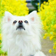 愛犬家/チワワ/復興支援/菜の花畑/あれから8年/LIMIAペット同好会/... あれから8年  小さな命を 守るために …
