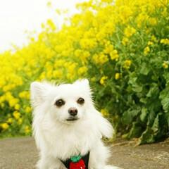 癒し/小さな幸せ/春/お散歩/ロングコートチワワ/チワワ/...  菜の花 の花言葉   「小さな幸せ🍀」…