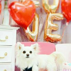 バレンタインデー/バレンタイン/愛犬/親ばか/chihuahua/dog/... バレンタインデー  チョコレートもらえる…