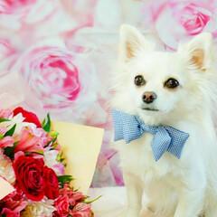 わんこ大好き/愛犬/ロングコートチワワ/ペット仲間募集/癒し/ふわもこ部/... ✩°。⋆⸜(ू˙꒳˙ )໒꒱ はじめま…