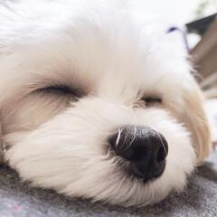 パピー犬/うちの子自慢/多頭飼い/マルキャバ/キャバマル/ミックス犬/... おてんば娘も眠ると、天使(1枚目)