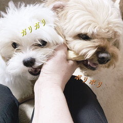 キャバマル/マルキャバ/パピー犬/ミックス犬/うちの子自慢/多頭飼い/... 同じガムを食べる (1枚目)