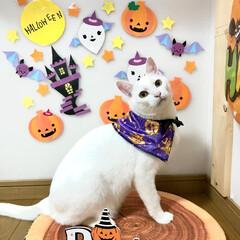 白猫/ニーナ/ペット仲間募集/LIMIAペット同好会/にゃんこ同好会/猫/... ハッピーハロウィン!(1枚目)
