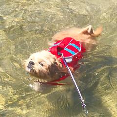 犬派/わんこ同好会/海とわんこ/わんこの泳ぎ 淡路に泳ぎに行って来たよー! 気持ち良か…