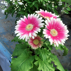 小さい春 PINKのガーベラ💕✨ 大好きなお花です。