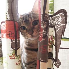 ペット/猫/ネコ/ベンガル/ベンガル猫/月ちゃん/... うちの可愛い可愛い月ちゃんです。 よろし…