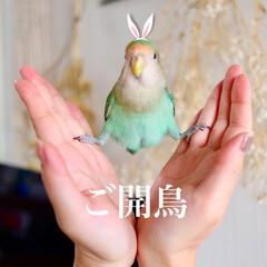 小鳥/コザクラインコ/あおさ/碧彩/LIMIAペット同好会/ペット/... やってみたかったやつが出来て満足!笑  …(1枚目)