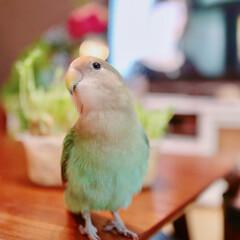 碧彩/あおさ/コザクラインコ/LIMIAペット同好会/ペット/小鳥 昨年我が家にやってきた、コザクラインコの…(1枚目)