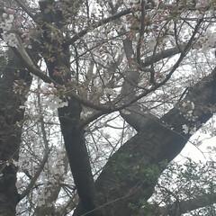 桜/風景/春の一枚 家から30分かけて桜を見に行きました。