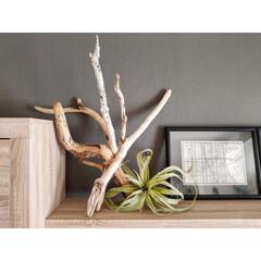 マイホーム/家/部屋/流木/流木インテリア/インテリア/...   拾ってきた流木を束ねて飾りました✨ …