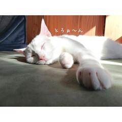 まったり/ねんね/キジトラ/キジ白/ねこ/LIMIAペット同好会/... 朝日にとろけるマロくん🍦