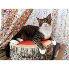 キジトラ/元保護猫/春のフォト投稿キャンペーン/LIMIAペット同好会/フォロー大歓迎/ペット/... いつも目覚まし鳴る5分前に高い声でミーミ…